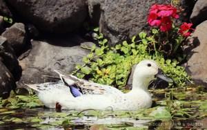 Farm Garden Welsh Harlequin Duck Geranium Pond
