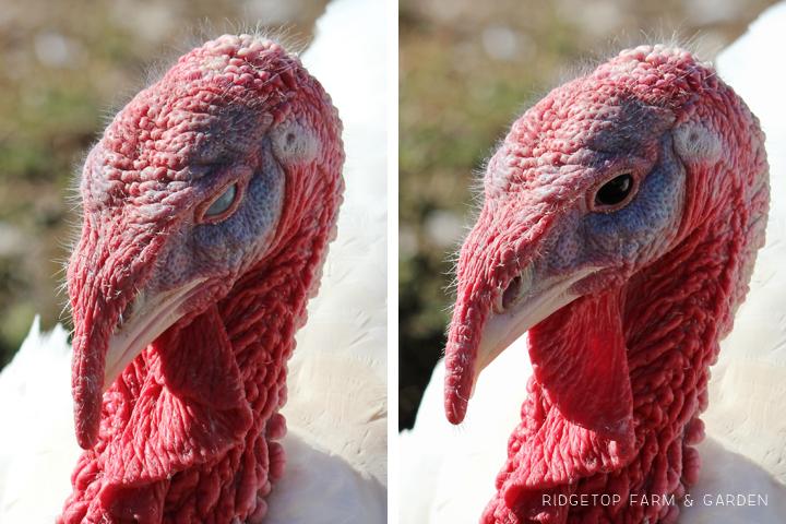 Turkey 3rd Eyelid