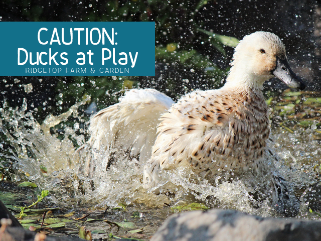 Ducks at Play title