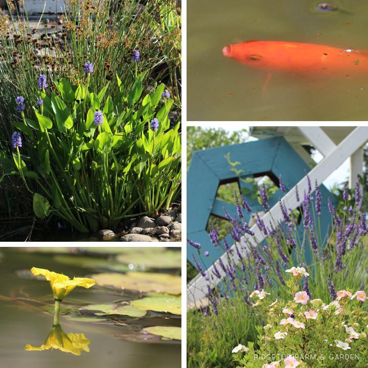 Front Pond Plants Fish