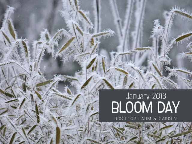 Jan2013 Bloom Day title