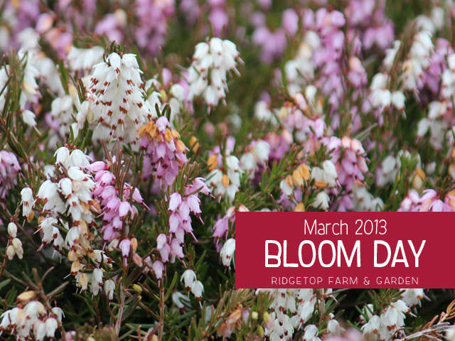 Mar2013 Bloom Day title