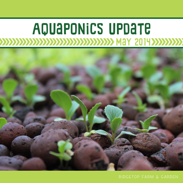 Ridgetop Farm & Garden | Aquaponics Update May 2014