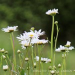 Bloom Day – May 2015