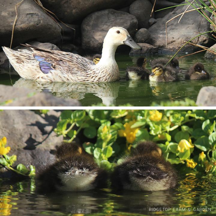 2015 Duck Hatch 1 4