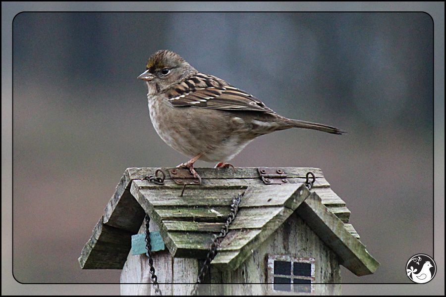 Ridgetop Farm and Garden | Great Backyard Bird Count | Golden-crowned Sparrow