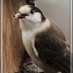 2013 Great Backyard Bird Count