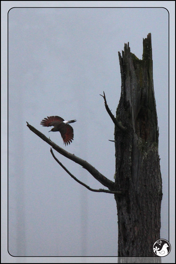 Ridgetop Farm and Garden | Great Backyard Bird Count | Northern Flicker