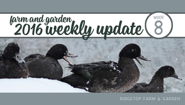 Ridgetop Farm and Garden | 2016 Update | Week 8