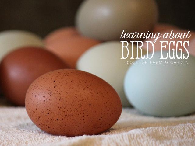 Ridgetop Farm and Garden   Home School   Animal Studies   Bird Eggs