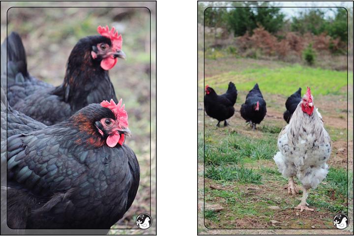 Ridgetop Farm and Garden | Blue Marans | Splash Marans | Black Copper Marans