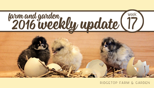 Ridgetop Farm and Garden | 2016 Update | Week 17