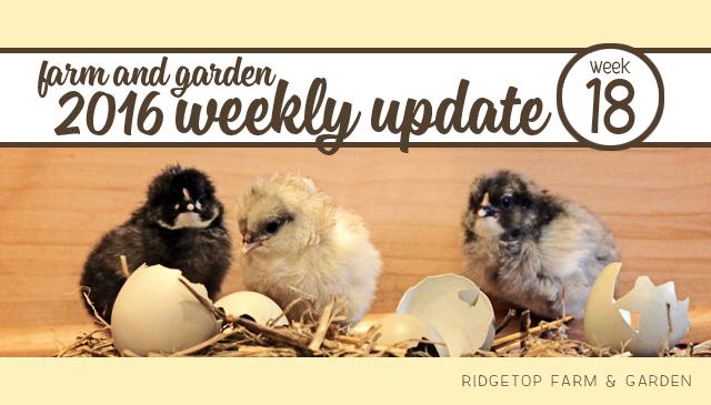 Ridgetop Farm and Garden | 2016 Update | Week 18
