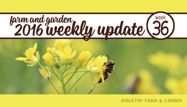 Ridgetop Farm and Garden | 2016 Update | Week 36