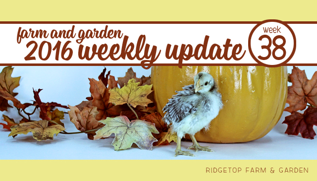 Ridgetop Farm and Garden | 2016 Update | Week 38