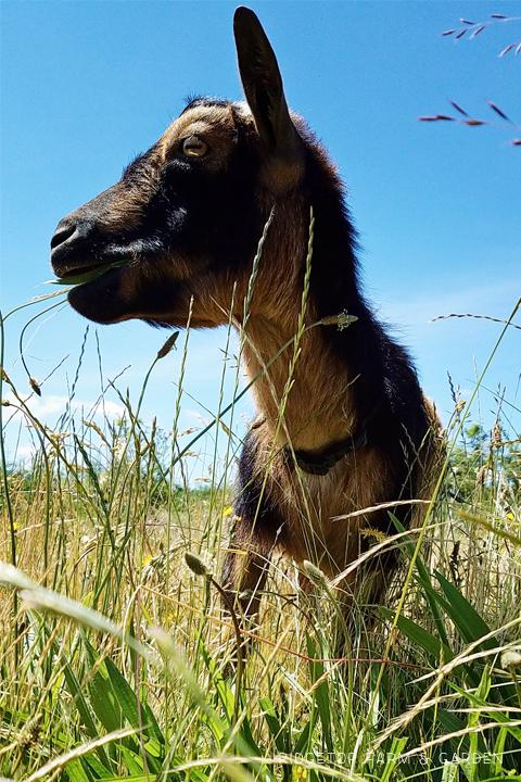 Ridgetop Farm and Garden | Our Goat Herd | Nigerian Dwarf | Vern
