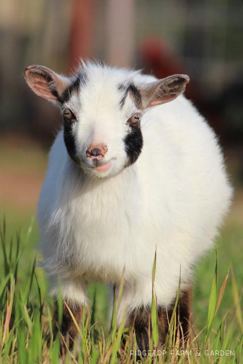 Ridgetop Farm and Garden | Instaling our Goat Fence | Nigerian Dwarf Goat