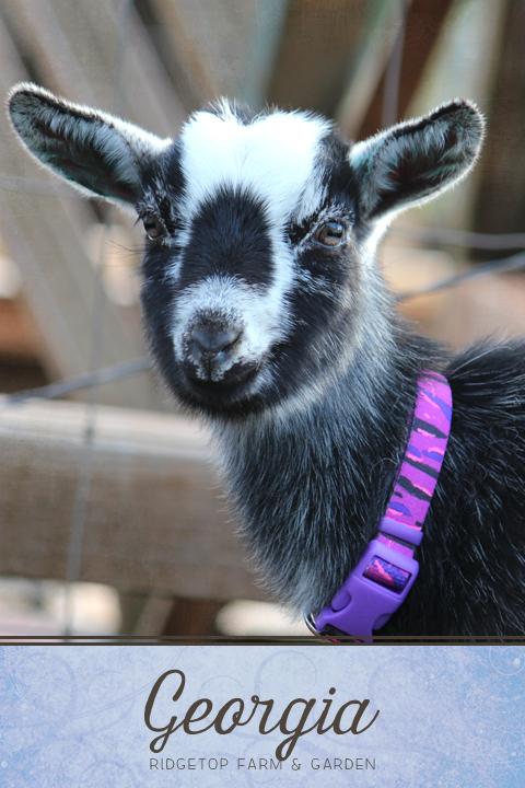 Ridgetop Farm and Garden | Our Goat Herd | Nigerian Dwarf | Georgia
