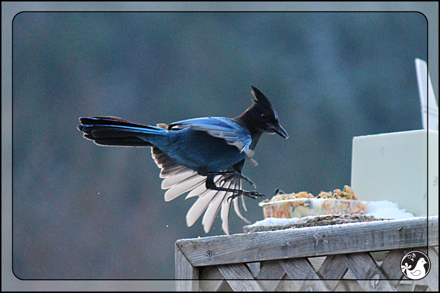 Ridgetop Farm and Garden | Birds of 2013 | Week 15 | Steller's Jay