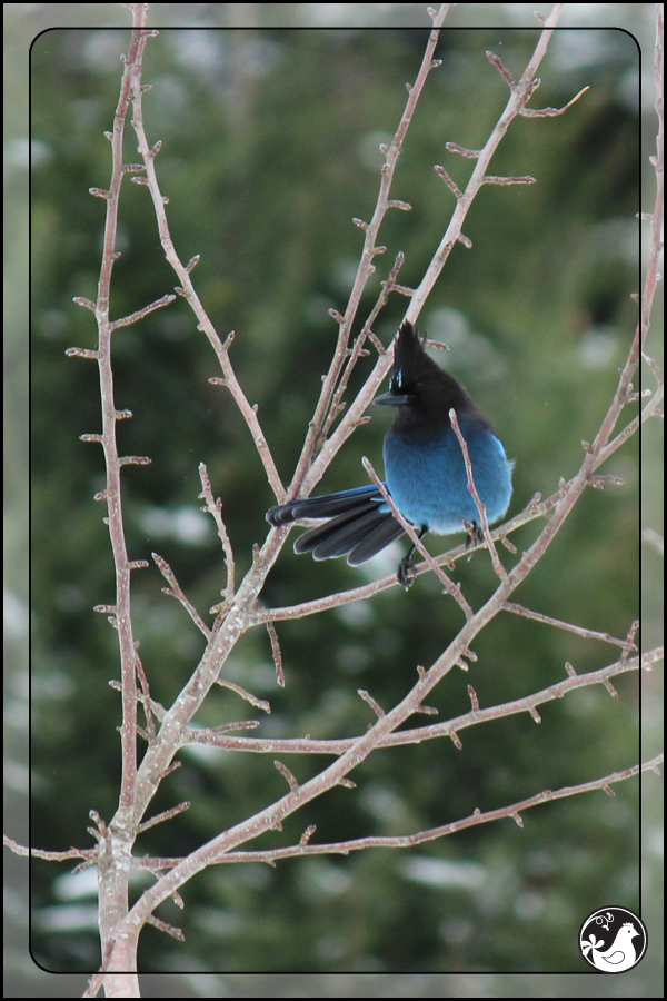 Ridgetop Farm and Garden | Birds of 2013 | Week 51 | Steller's Jay