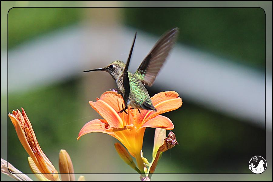 Ridgetop Farm and Garden   Birds of 2013   Week 30   Rufous Hummingbird