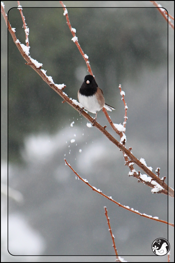 Ridgetop Farm and Garden | Birds of 2013 | Week 51 | Dark-eyed Junco
