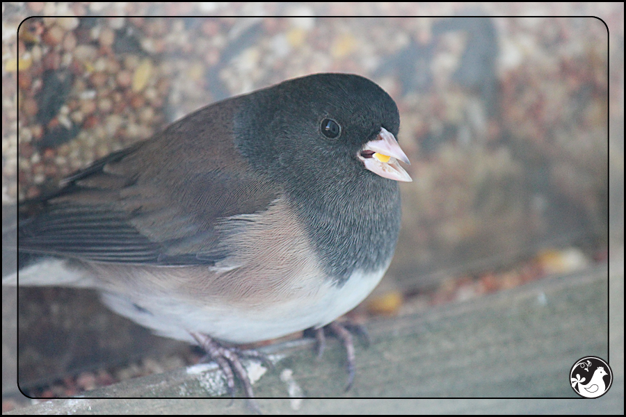 Ridgetop Farm and Garden | Birds of 2013 | Week 15 | Dark-eyed Junco