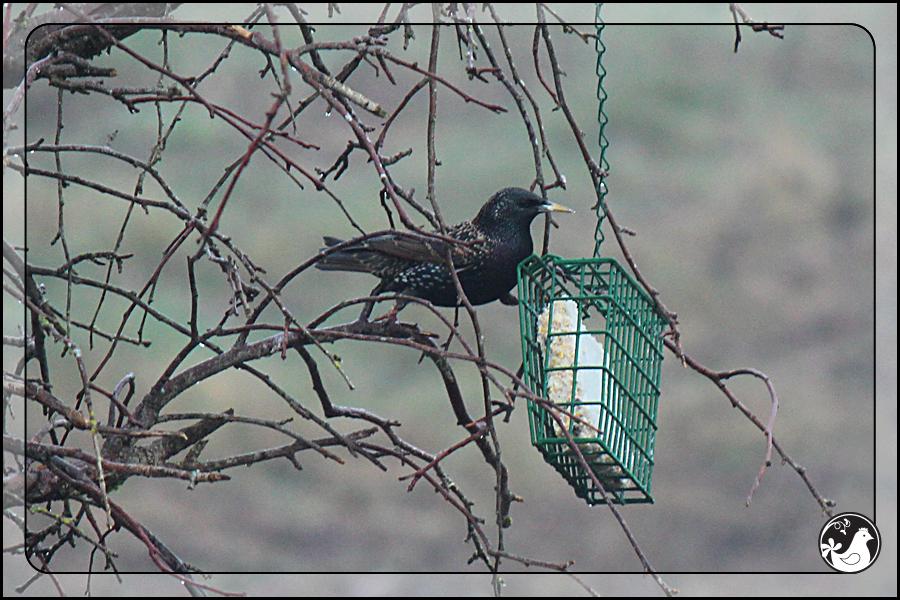 Ridgetop Farm and Garden | Birds of 2013 | Week 15 | European Starling
