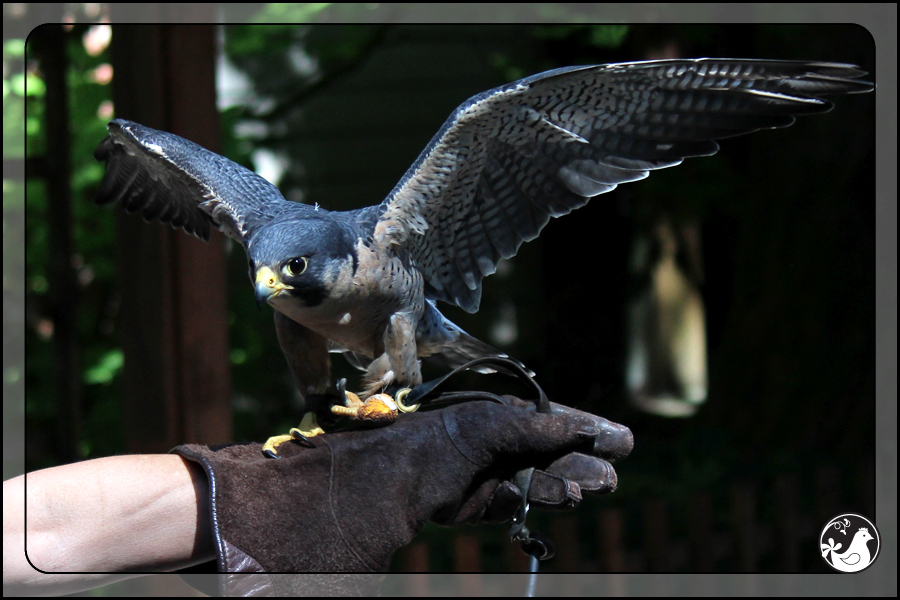 Ridgetop Farm and Garden | Birds of 2013 | Week 38 | Audubon Society | Peregrine Falcon | Finnegan