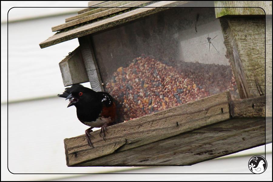 Ridgetop Farm and Garden | Birds of 2013 | Week 15 | Spotted Towhee