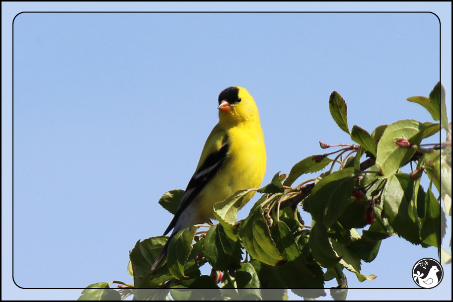 Ridgetop Farm and Garden | Birds of 2013 | Week 17 | American Goldfinch
