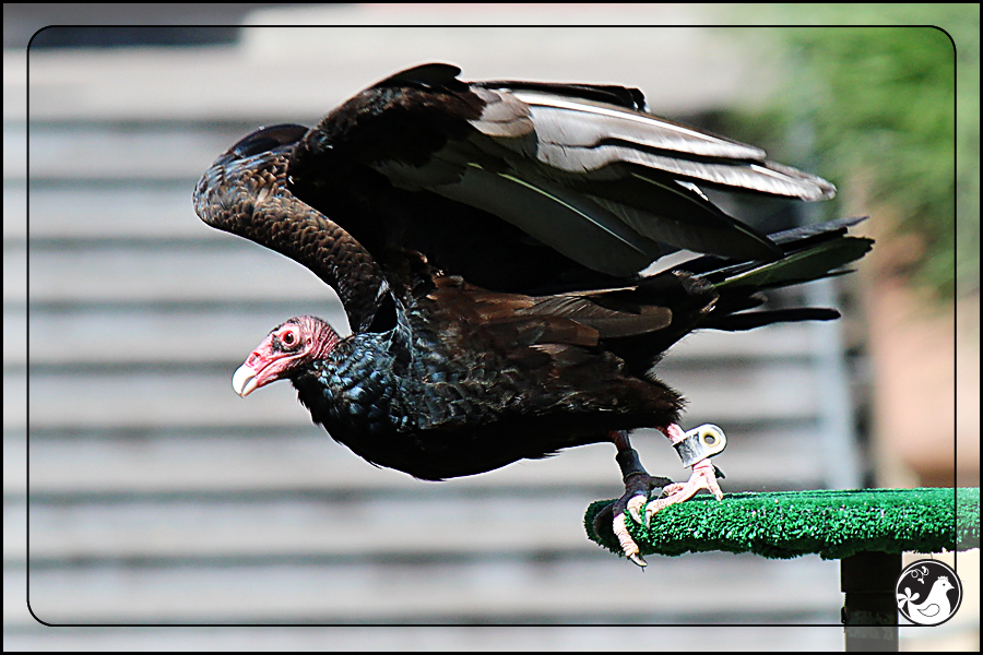 Ridgetop Farm and Garden | Birds of 2013 | Week 35 | Turkey Vulture