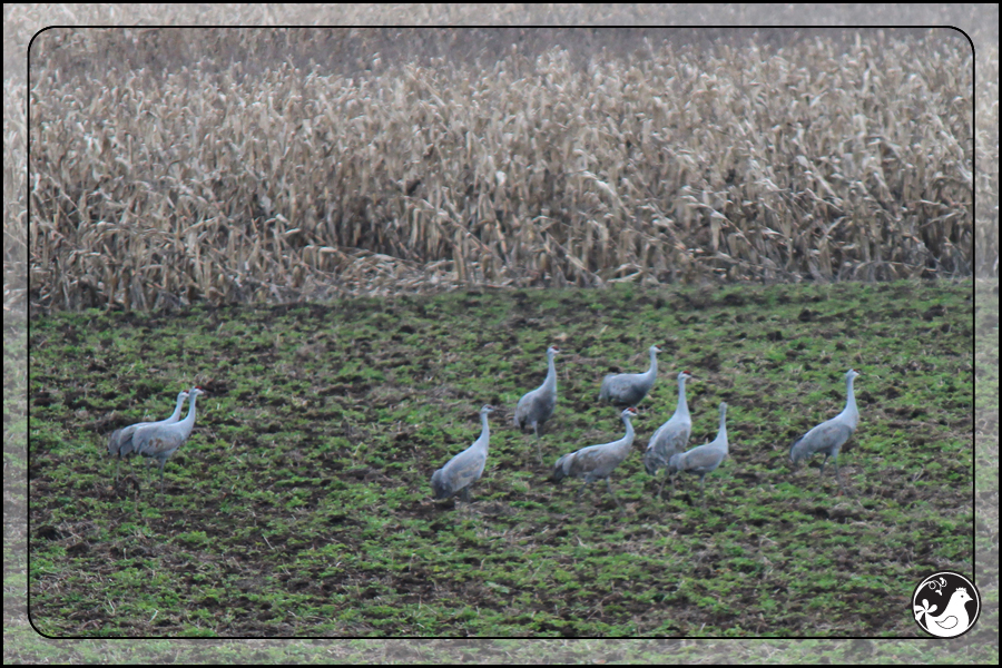 Ridgetop Farm and Garden | Birds of 2013 | Week 52 | Sandhill Cranes