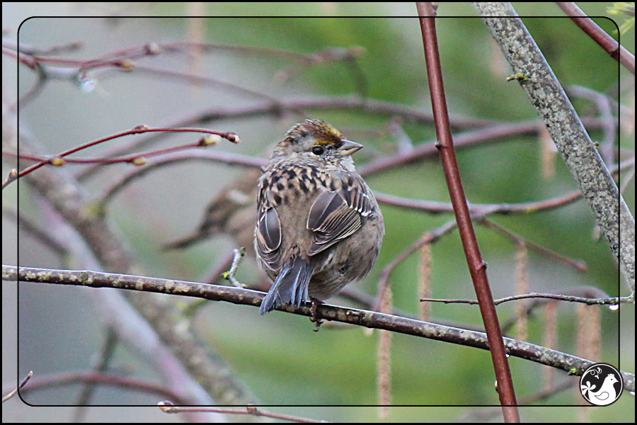 Ridgetop Farm and Garden | Birds of 2013 | Week 13 | Golden-crowned Sparrow