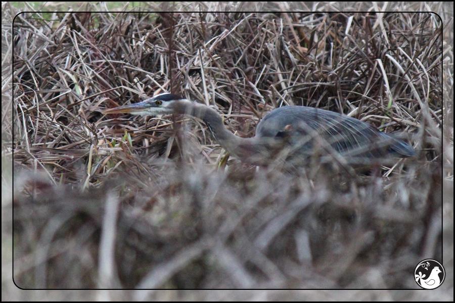 Ridgetop Farm and Garden | Birds of 2013 | Week 4 | Great Blue Heron