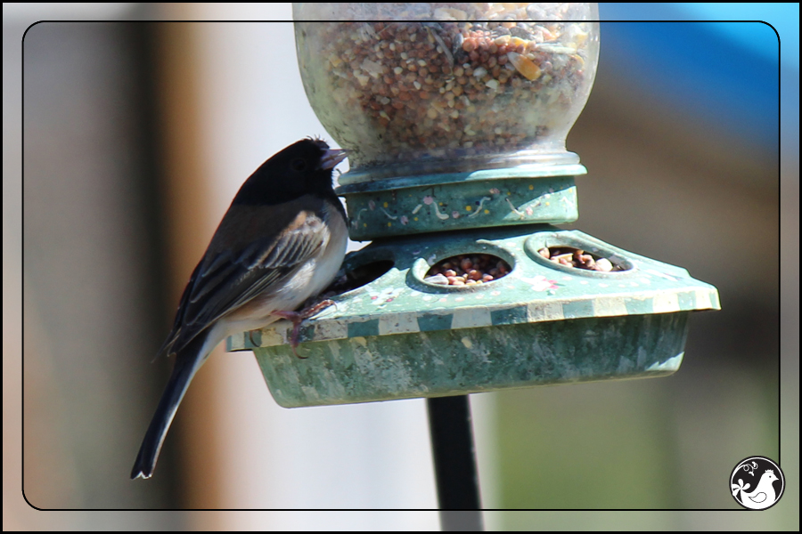 Ridgetop Farm and Garden | Birds of 2013 | Week 13 | Dark-eyed Junco