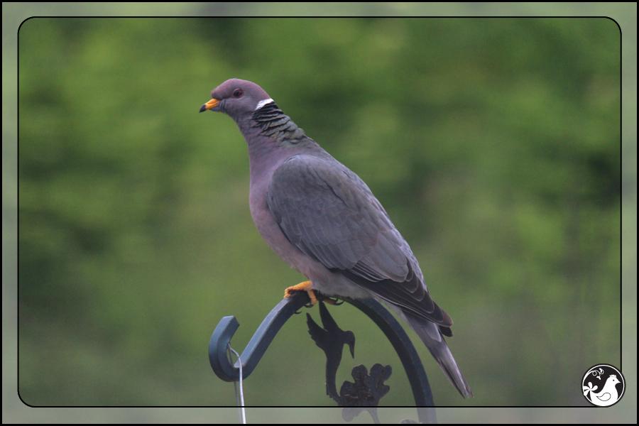 Ridgetop Farm and Garden | Birds of 2013 | Week 25 | Eurasian Collard Dove