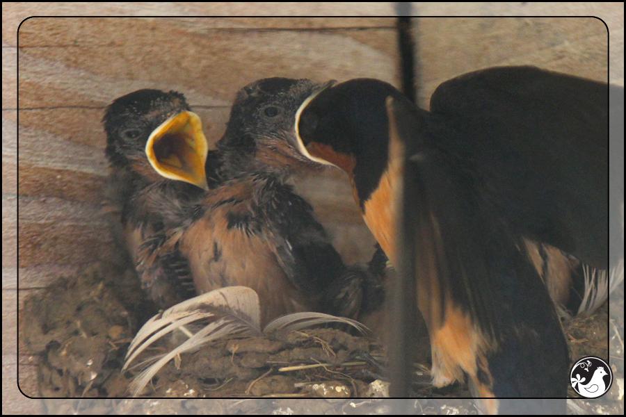 Ridgetop Farm and Garden   Birds of 2013   Week 31   Barn Swallow