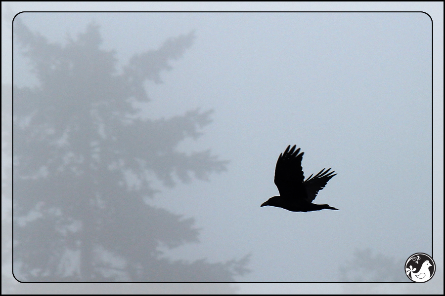 Ridgetop Farm and Garden | Birds of 2013 | Week 10 | Common Raven