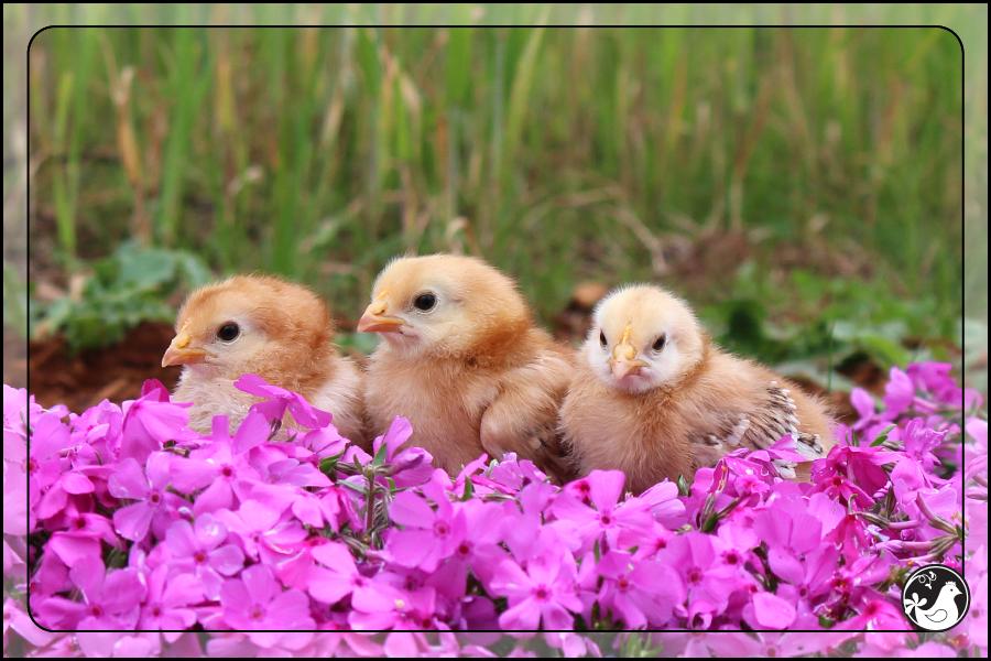 Ridgetop Farm and Garden   Our Flock   Rhode Island Reds