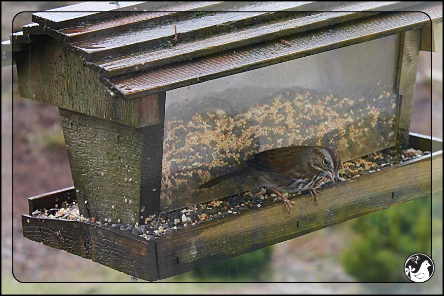 Ridgetop Farm and Garden | Birds of 2013 | Week 15 | Song Sparrow