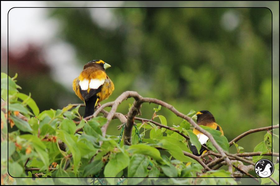 Ridgetop Farm and Garden | Birds of 2013 | Week 20 | Evening Grosbeak