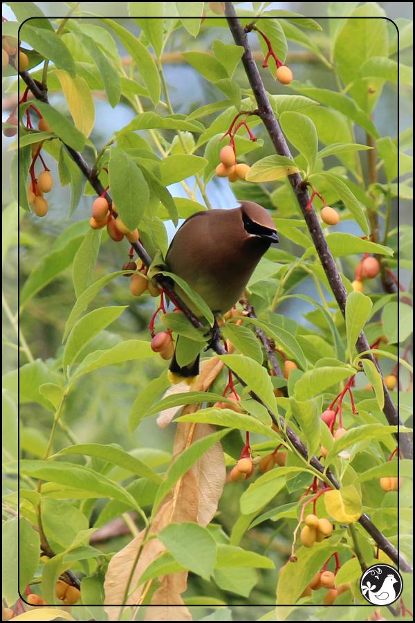 Ridgetop Farm and Garden | Birds of 2013 | Week 21 | Cedar Waxwing