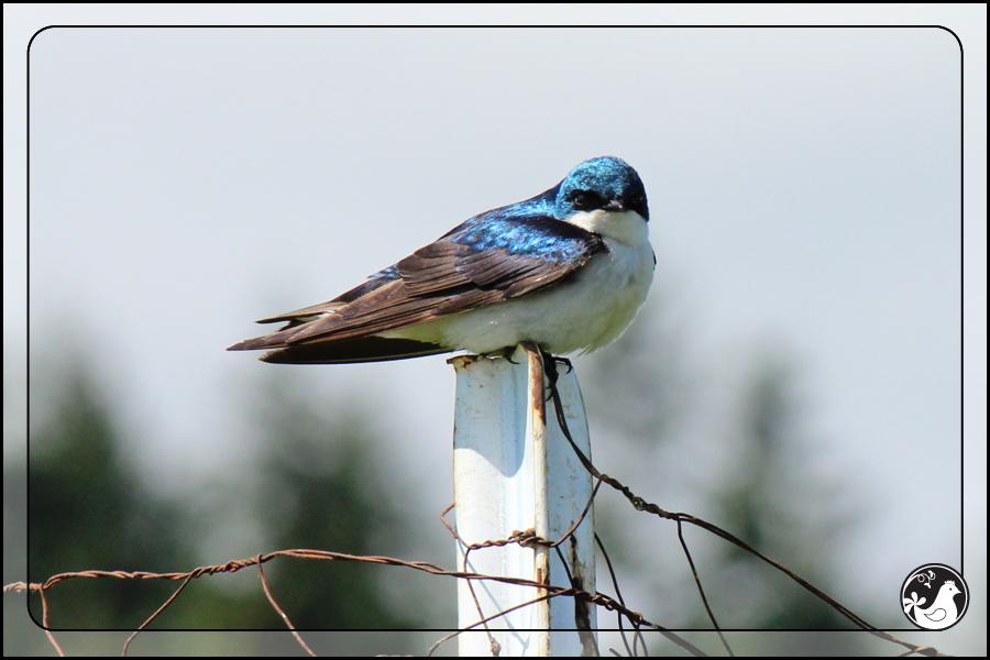 Ridgetop Farm and Garden | Birds of 2013 | Week 21 | Tree Swallow