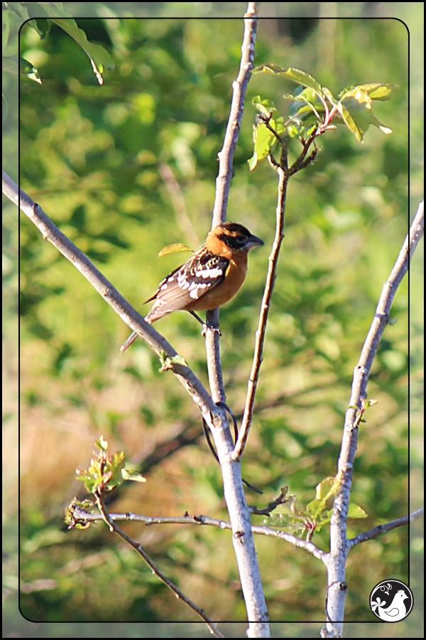 Ridgetop Farm and Garden | Birds of 2013 | Week 25 | Black-headed Grosbeak