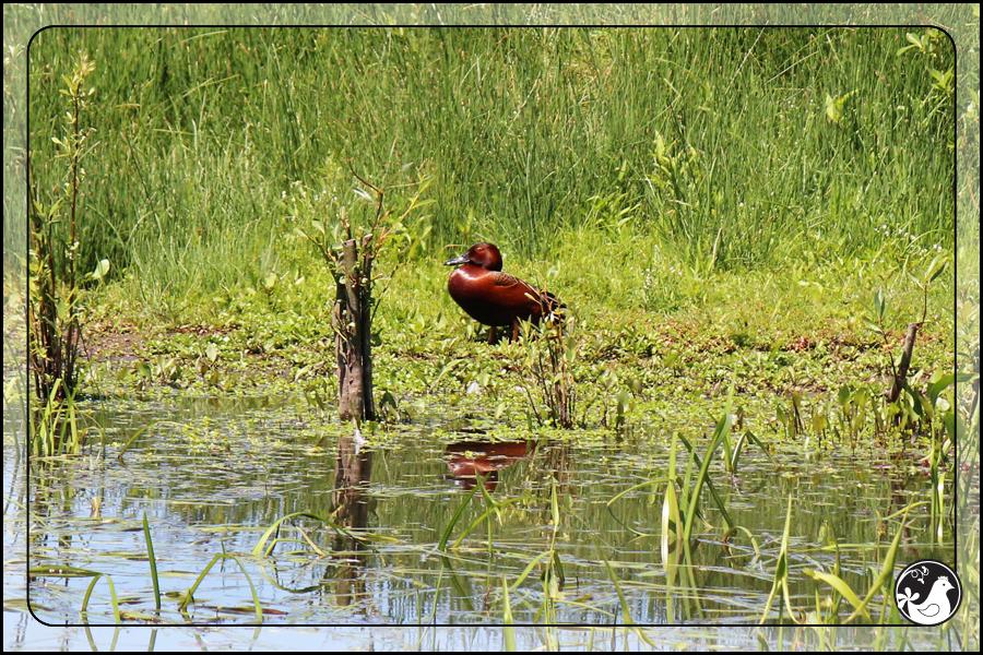 Ridgetop Farm and Garden | Birds of 2013 | Week 21 | Cinnamon Teal