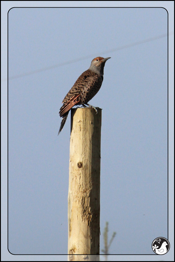 Ridgetop Farm and Garden | Birds of 2013 | Week 51 | Northern Flicker