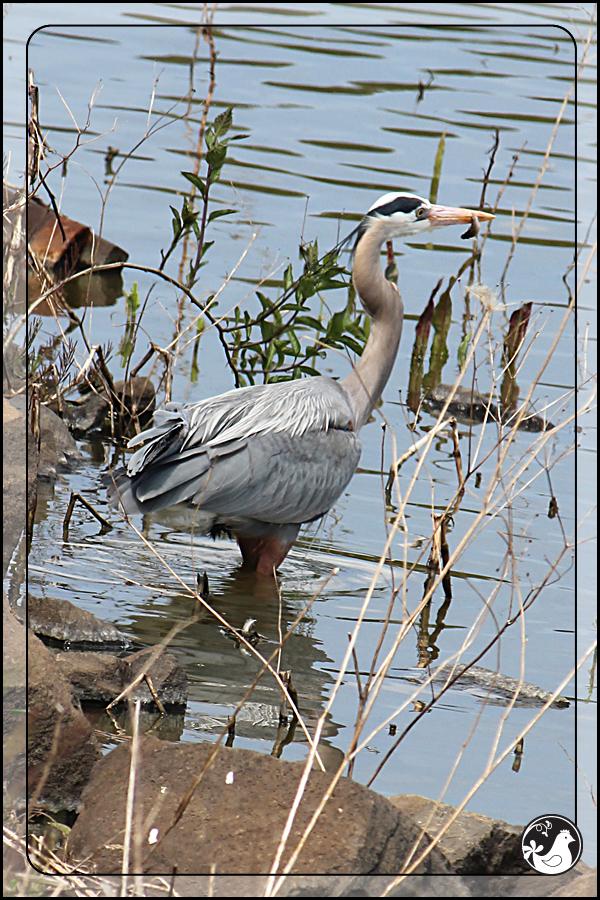 Ridgetop Farm and Garden | Birds of 2013 | Week 16 | Great Blue Heron
