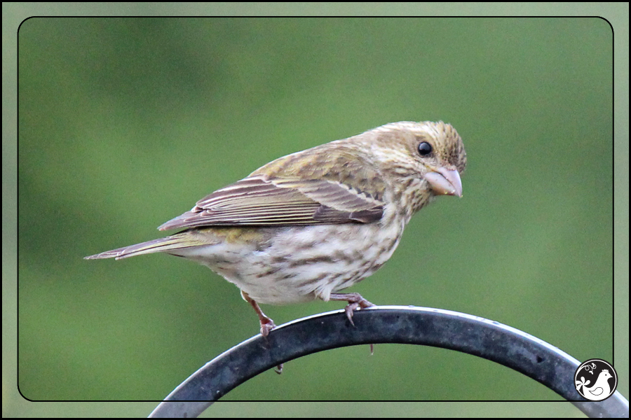 Ridgetop Farm and Garden | Birds of 2013 | Week 17 | House Finch