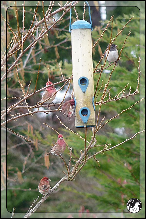 Ridgetop Farm and Garden | Birds of 2013 | Week 15 | House Finch | Dark-eyed Junco